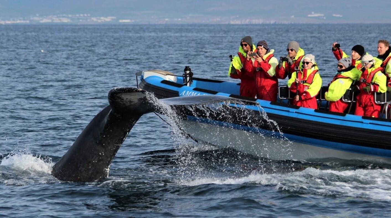 pozorovaní velryb na Islandu